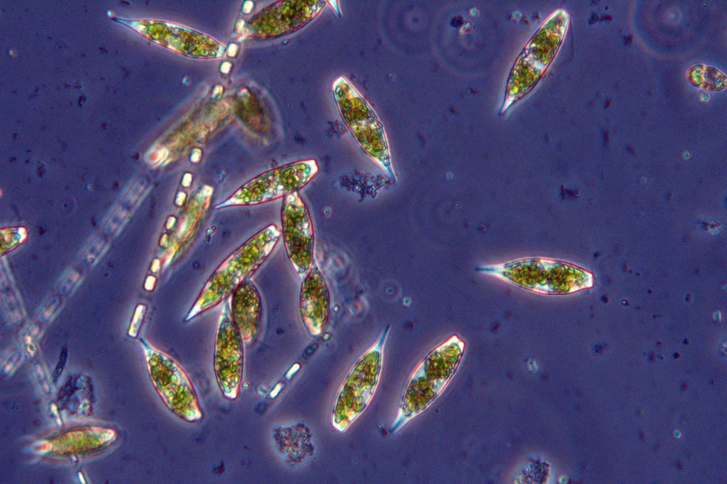 Eutreptiella braarudii